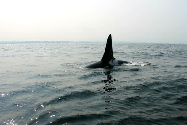 Orca watching in Canada!